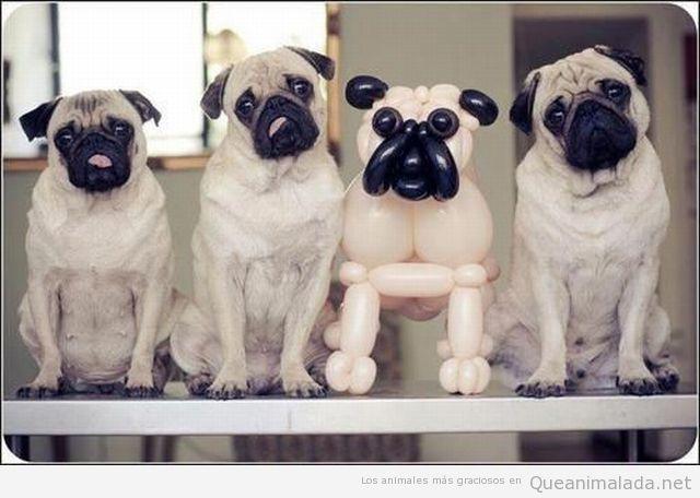 Tres pugs con un carlino hecho con globo