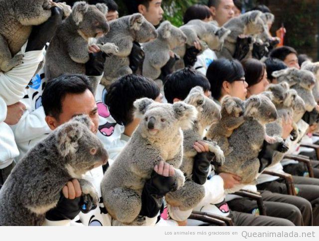 Imagen curiosa de una reunión de koalas