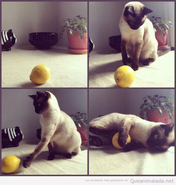 Fotos graciosas de un gato jugando con limón