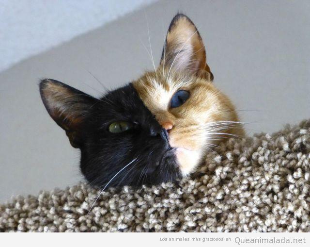gato-curioso-mitad-cara-negra