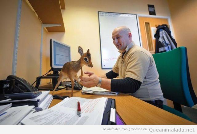 Foto graciosa y adorable de un ciervo bebé en casa