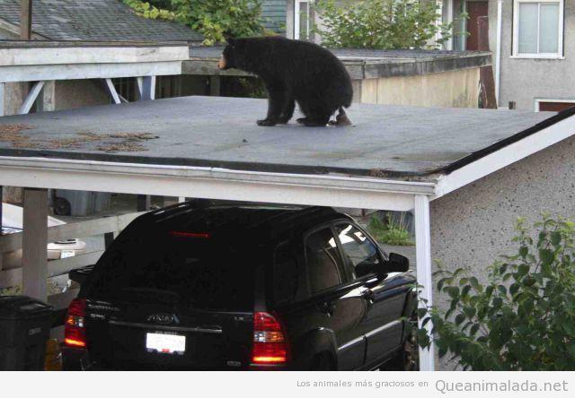 Foto graciosa de un oso haciendo caca en el tejado de un parking