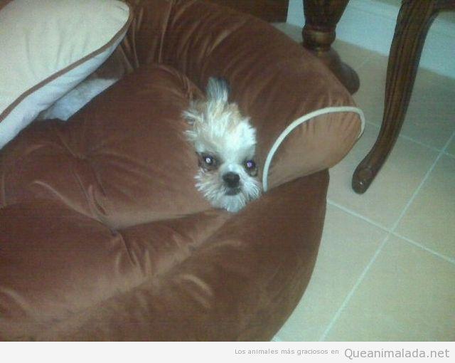 Perro en el sofá