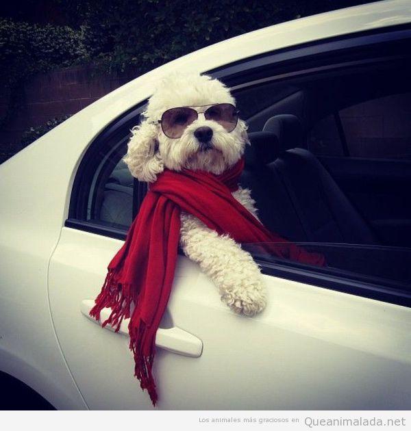 Imagen graciosa de un perro chulo sacando la cabeza pro la ventanilla del coche