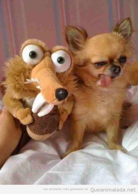 Perro con parecido razonable a la ardilla de La Edad de Hielo