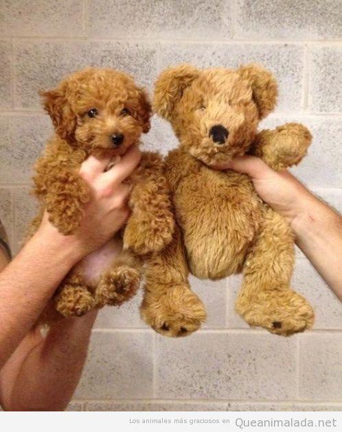 Imagen bonita, cachorro de perro parecido a un oso de  peluche