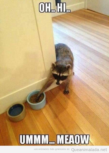 Imagen divertida de un mapache robando comida