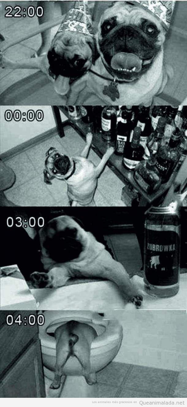 Foto graciosa de dos pugs o carlinos de fiesta