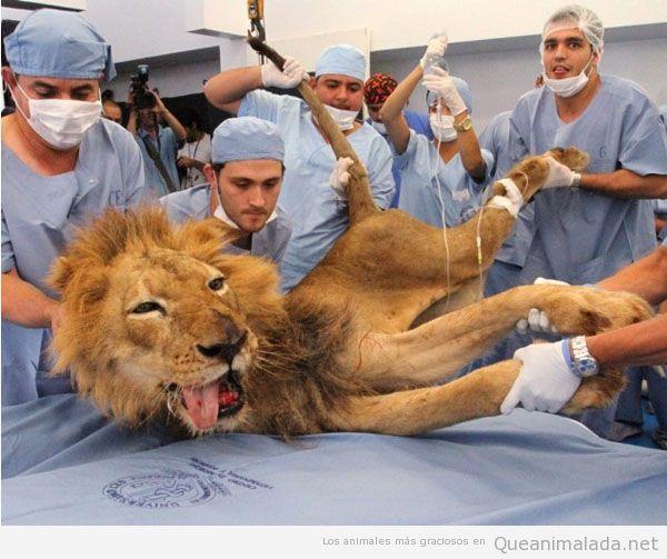 León veterinario