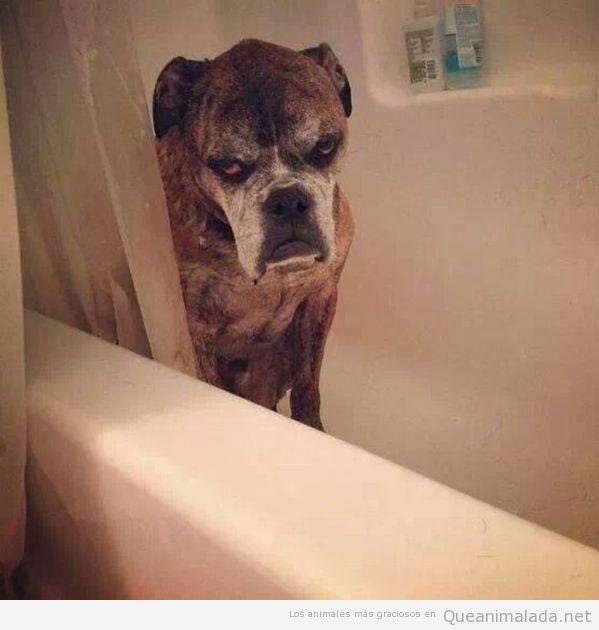 Foto graciosa de un perro en la bañera con cara de enfado