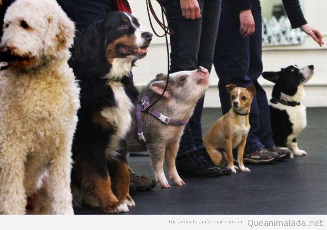 Foto divertida encuentro perros y un cerdo
