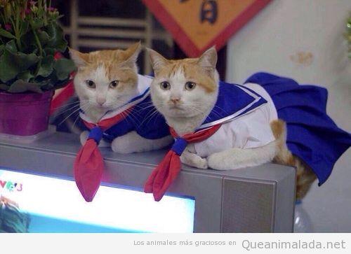 Gatas con disfraz de Sailor Moon