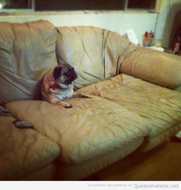 Foto graciosa carlino o pug atrapado en el sofá