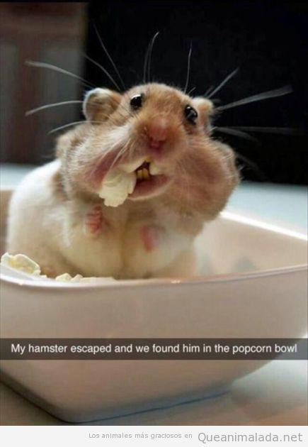 Foto divertida hamster comiendo palomitas