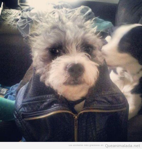 Foto graciosa perro chulo con chupa de cuero