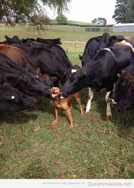 Foto graciosa de un perro lamido por muchas vacas