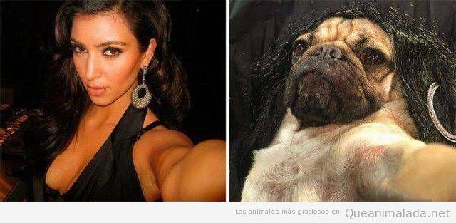 Foto graciosa de un carlino como Kim Kardashian