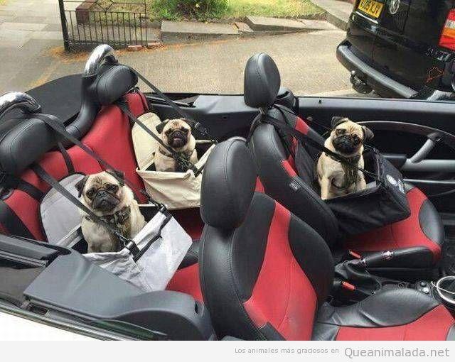 Foto divertida de tres perros carlinos en coche descapotable