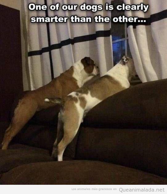 Foto chistosa perros mirando por al ventana