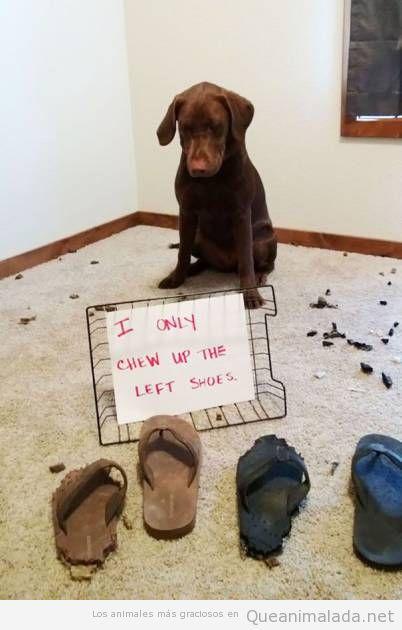 Foto graciosa perro culpable por morder chanclas