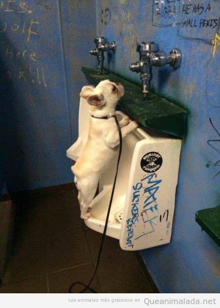 Foro graciosa de un perro en urinario público