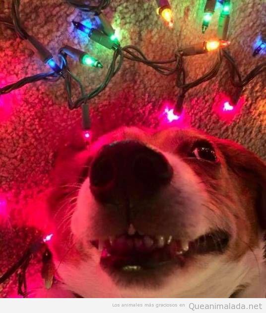 Foto graciosa de un perro con luces de Navidad