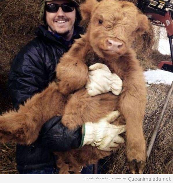 Foto bonita vaca cachorro de las tierras altas