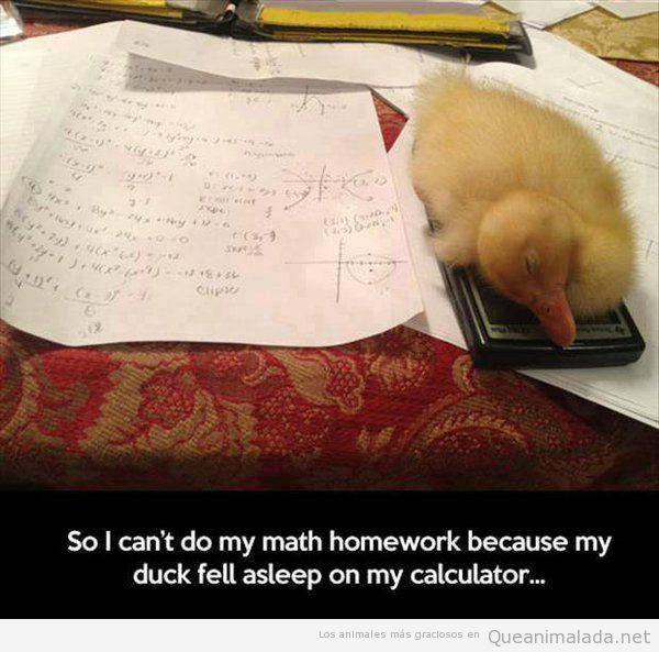 Foto graciosa pato dormido encima de una calculadora