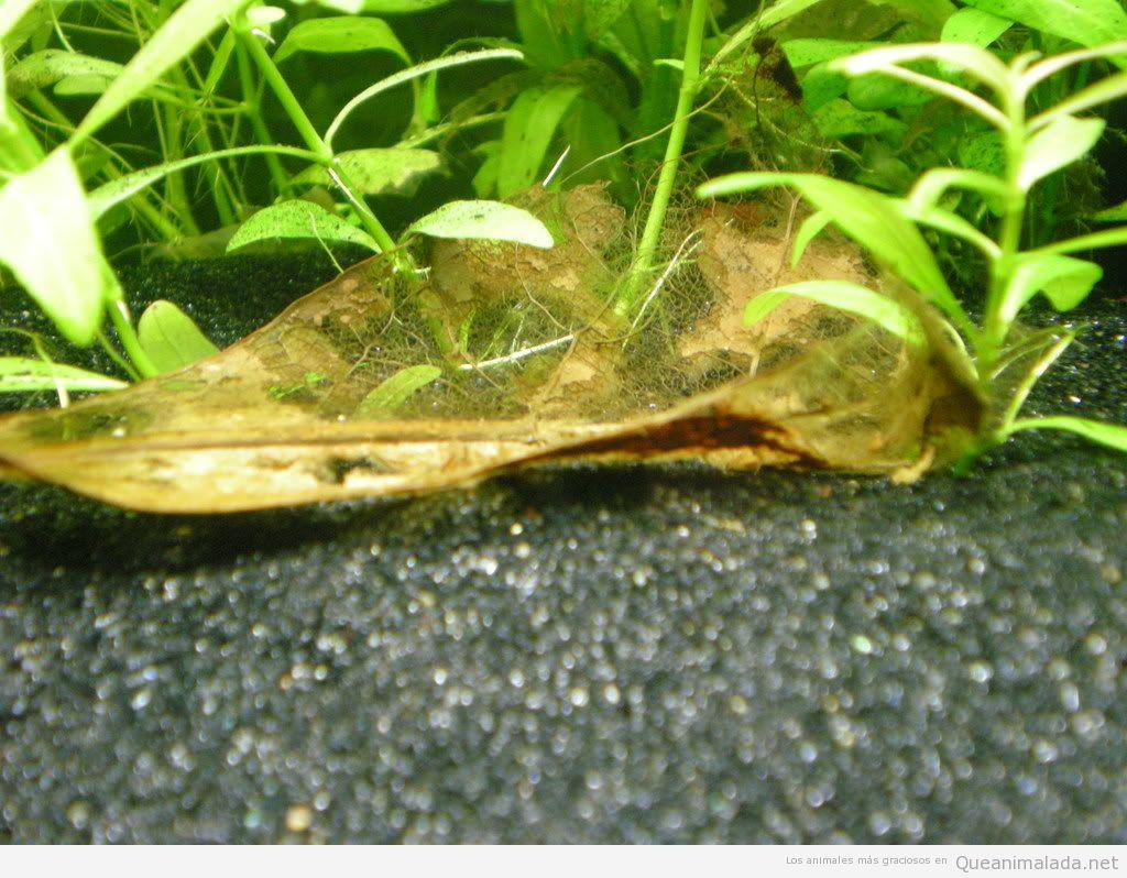Terminalia catappa acuario