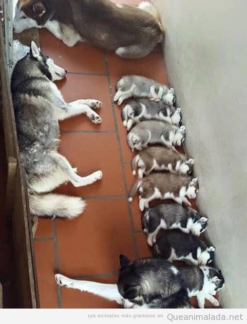 Foto bonita cachorros husky degradado de color