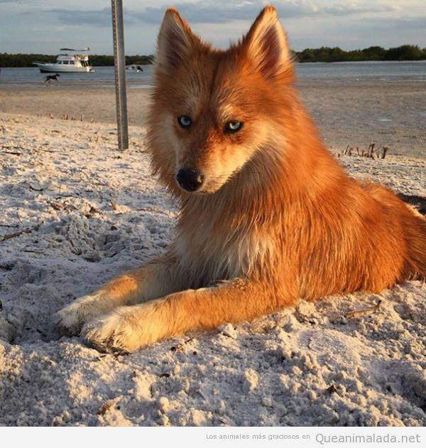 Perro que parece un zorro, mezcla de husky y pomeranian