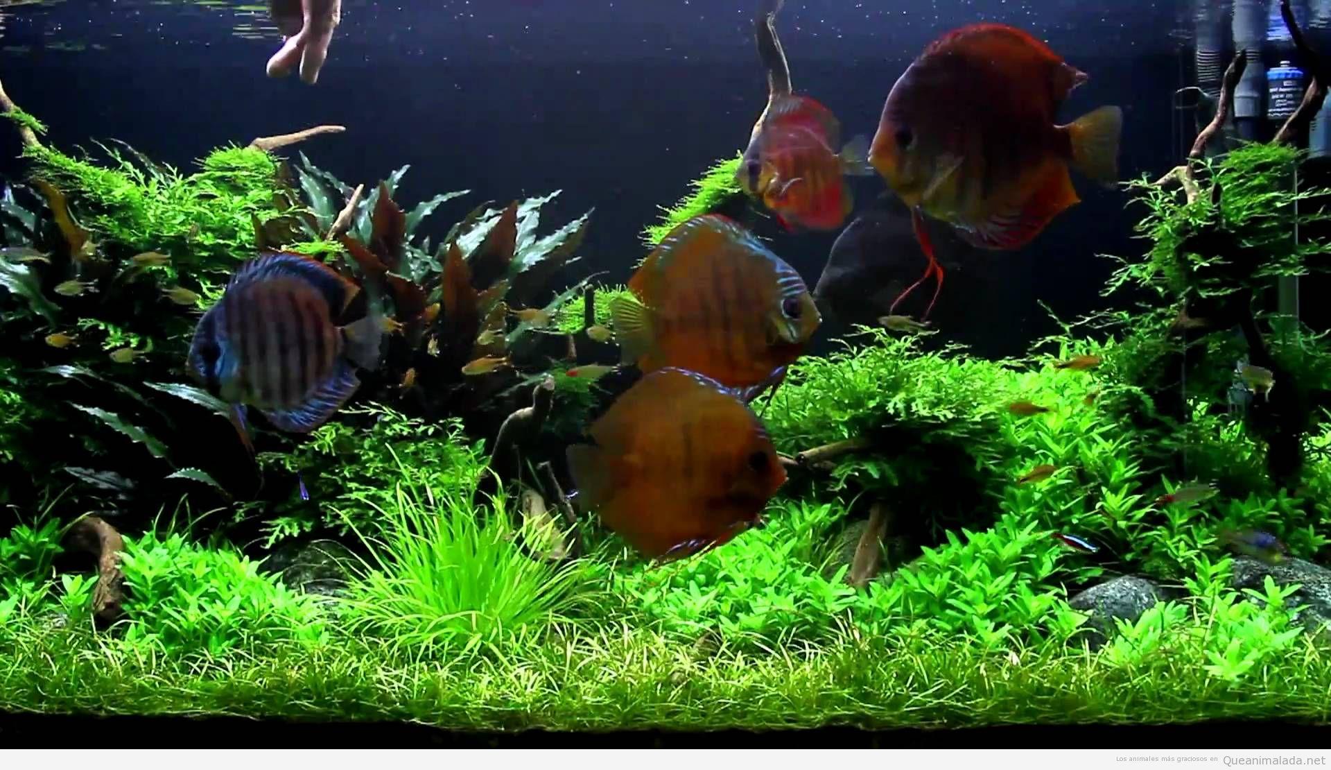 Pez disco acuario Terminalia catappa