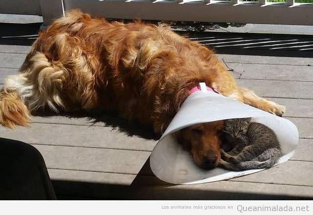 Foto graciosa gato durmiendo en collar isabelino de un perro