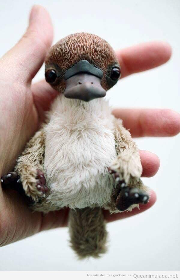 Foto de un bebé de ornitorrinco