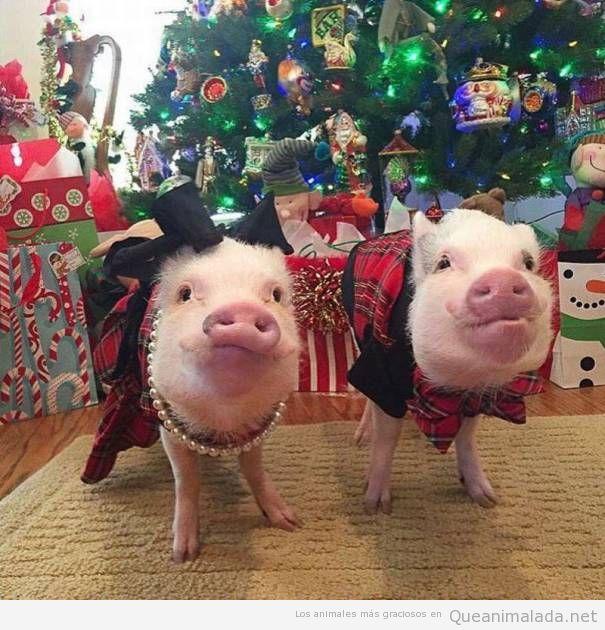 Foto graciosa dos cerdos vestidos de Navidad