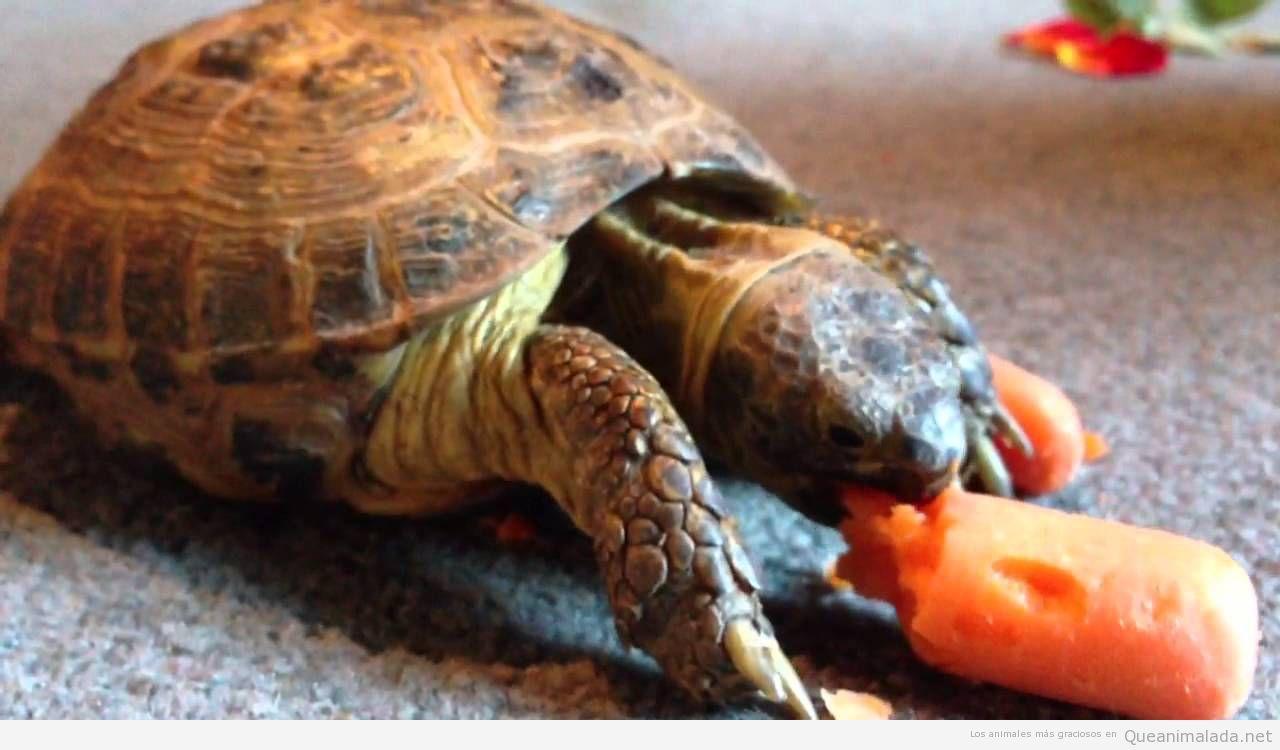 Tortuga come zanahoria
