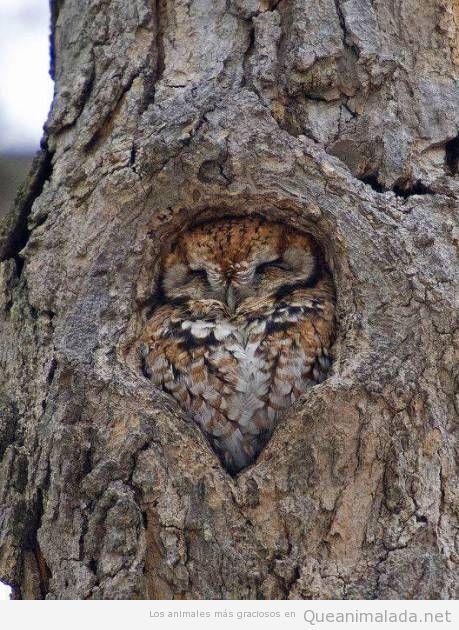 Foto graciosa y bonita de un  búho durmiendo en un árbol