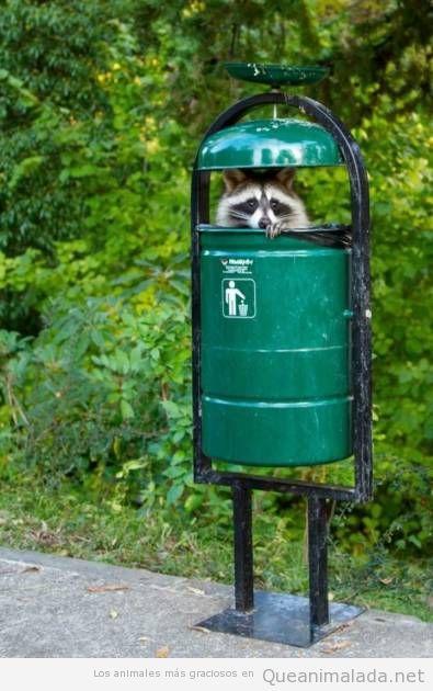 Foto graciosa mapache dentro papelera