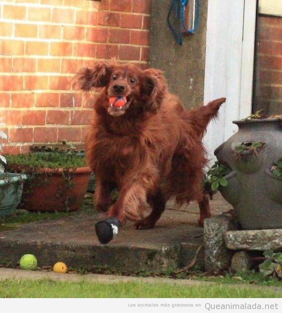 Foto chistosa perro corriendo con pelota en la boca