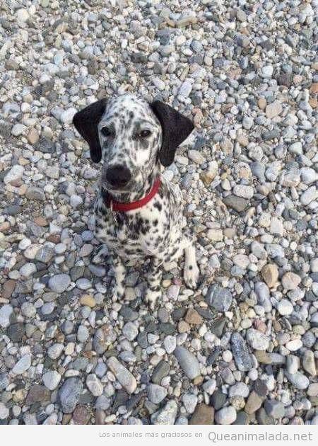 Foto divertida perro dálmata de camuflaje en piedras