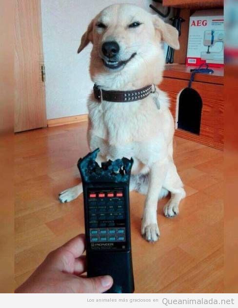 Foto graciosa perro feliz tras comer mando distancia