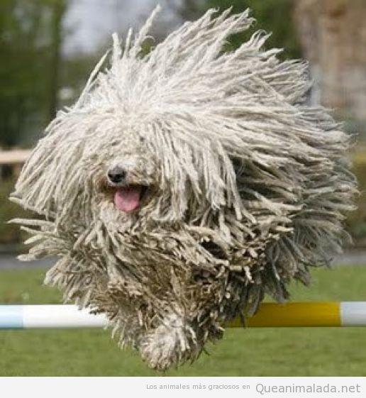 Foto graciosa perro Komondor blancp