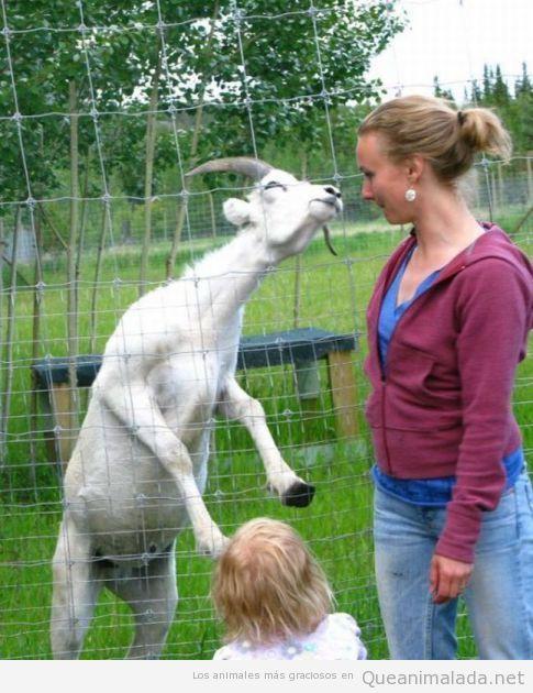 Cabra se sale de la valla para dar un beso a una mujer