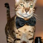Gato like a sir