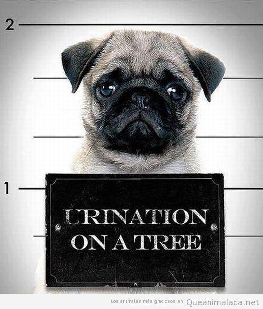 Foto graciosa de un carlino o pug arrestado por mear en un árbol