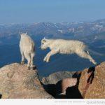 La cabra tira al monte… ¡y de que manera!
