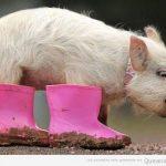 El cerdito con botas
