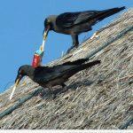 Dos cuervos dándole al vicio...