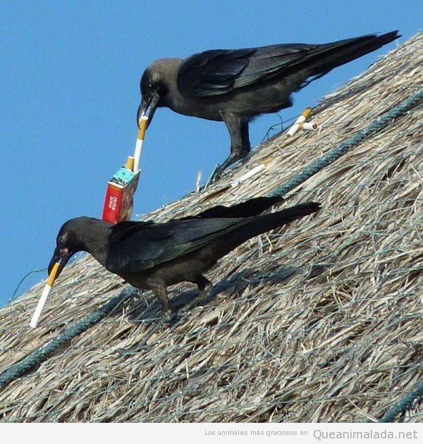 Dos cuervos dándole al vicio…