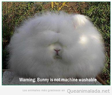 Foto divertida de un conejo blanco con el pelo encrespado